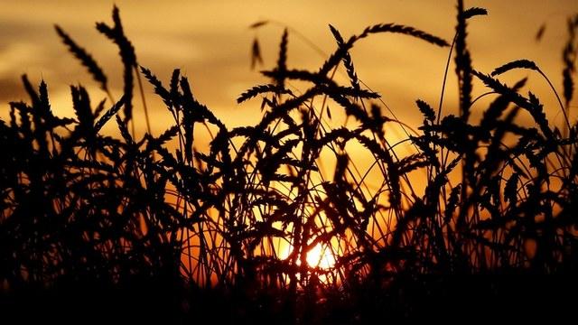Bloomberg: Сильный доллар подвел США в «пшеничной войне» с Россией
