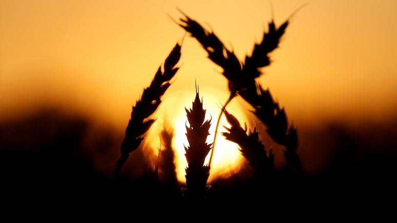 Business Insider: холодное лето грозит России «зерновыми» потрясениями