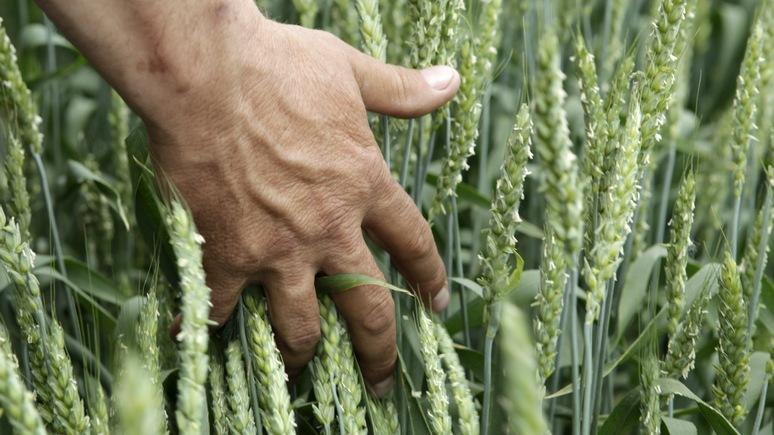 CM: Мексика отвернулась от агрессивного Трампа и стала закупать пшеницу в России